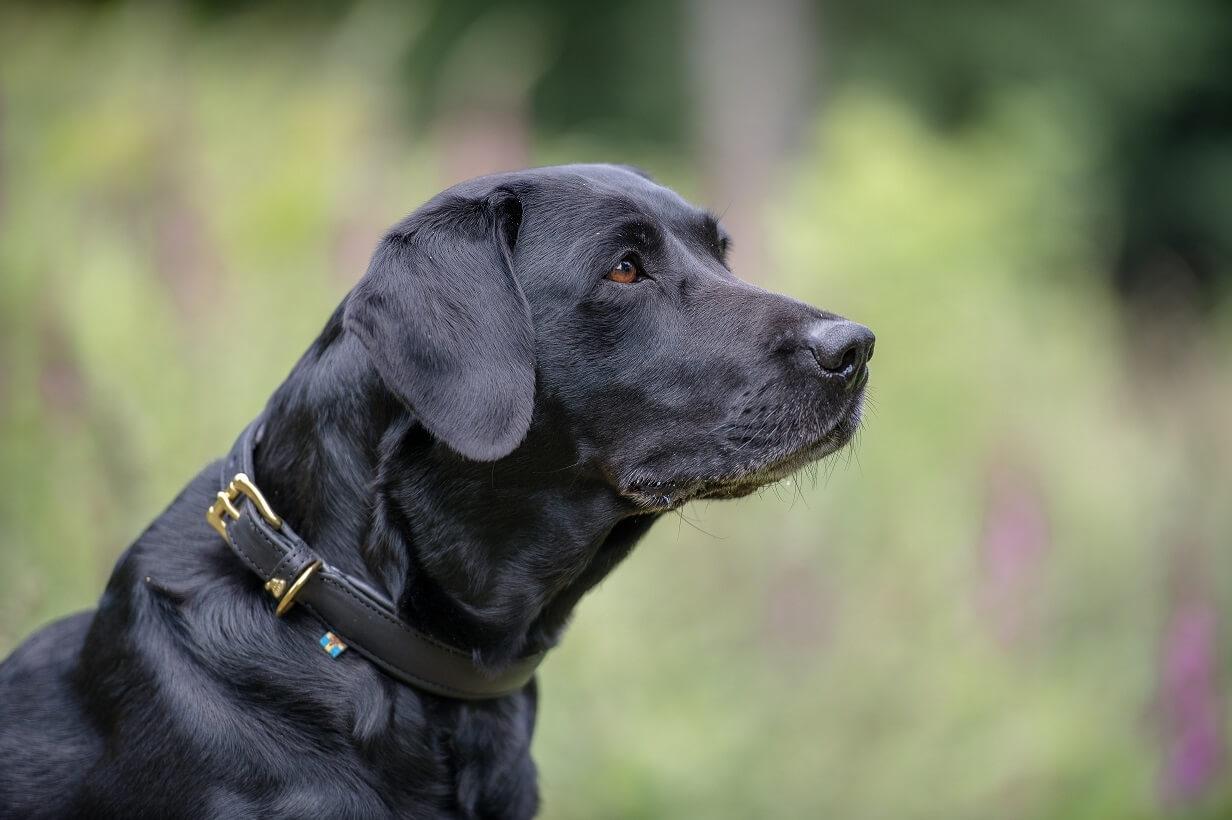 Labrador Retriever Charakter