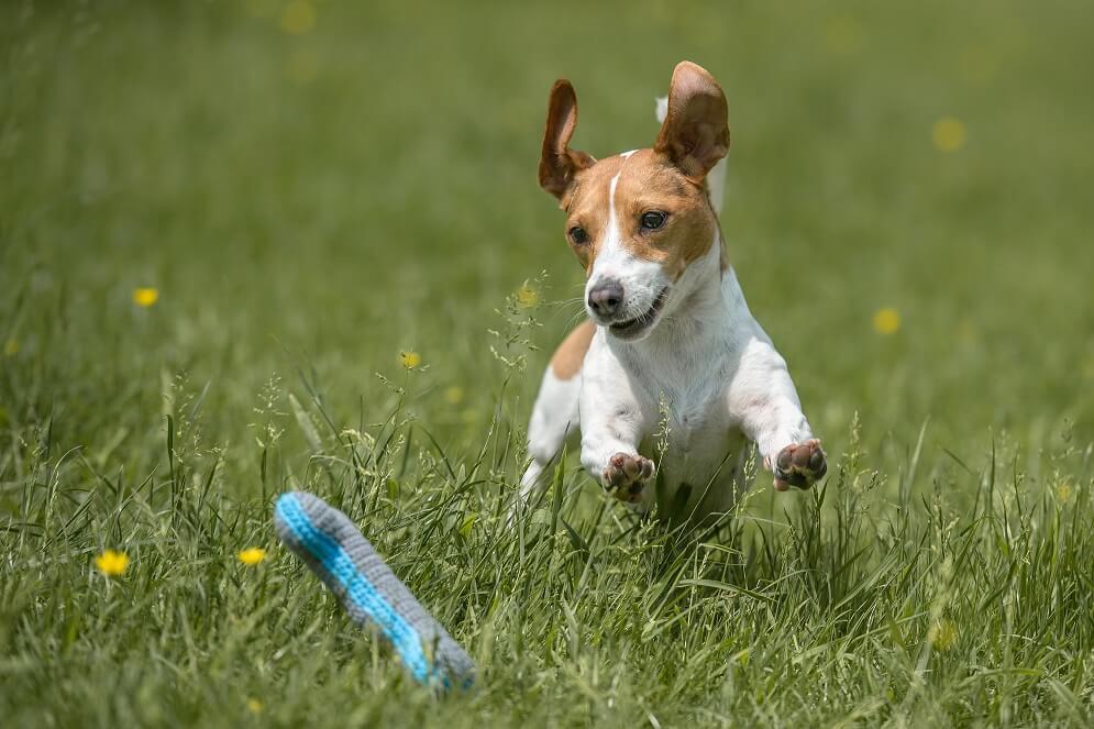 Russell Terrier Portrait