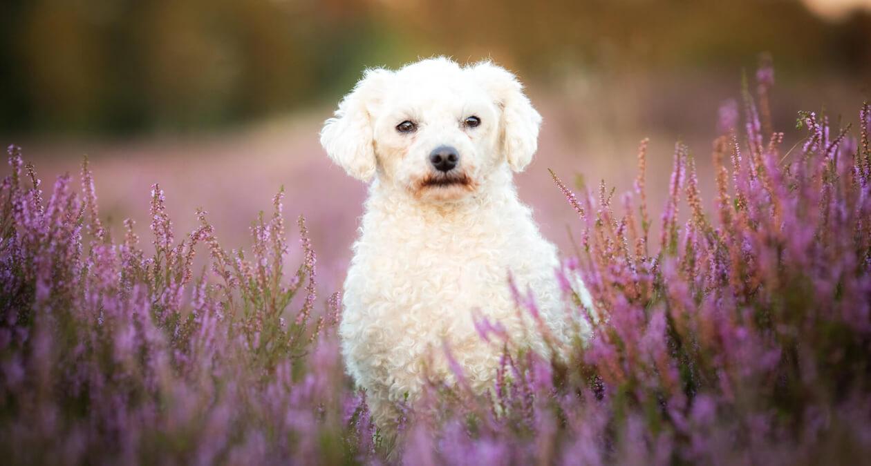 Senioren-Hunde Krankheiten