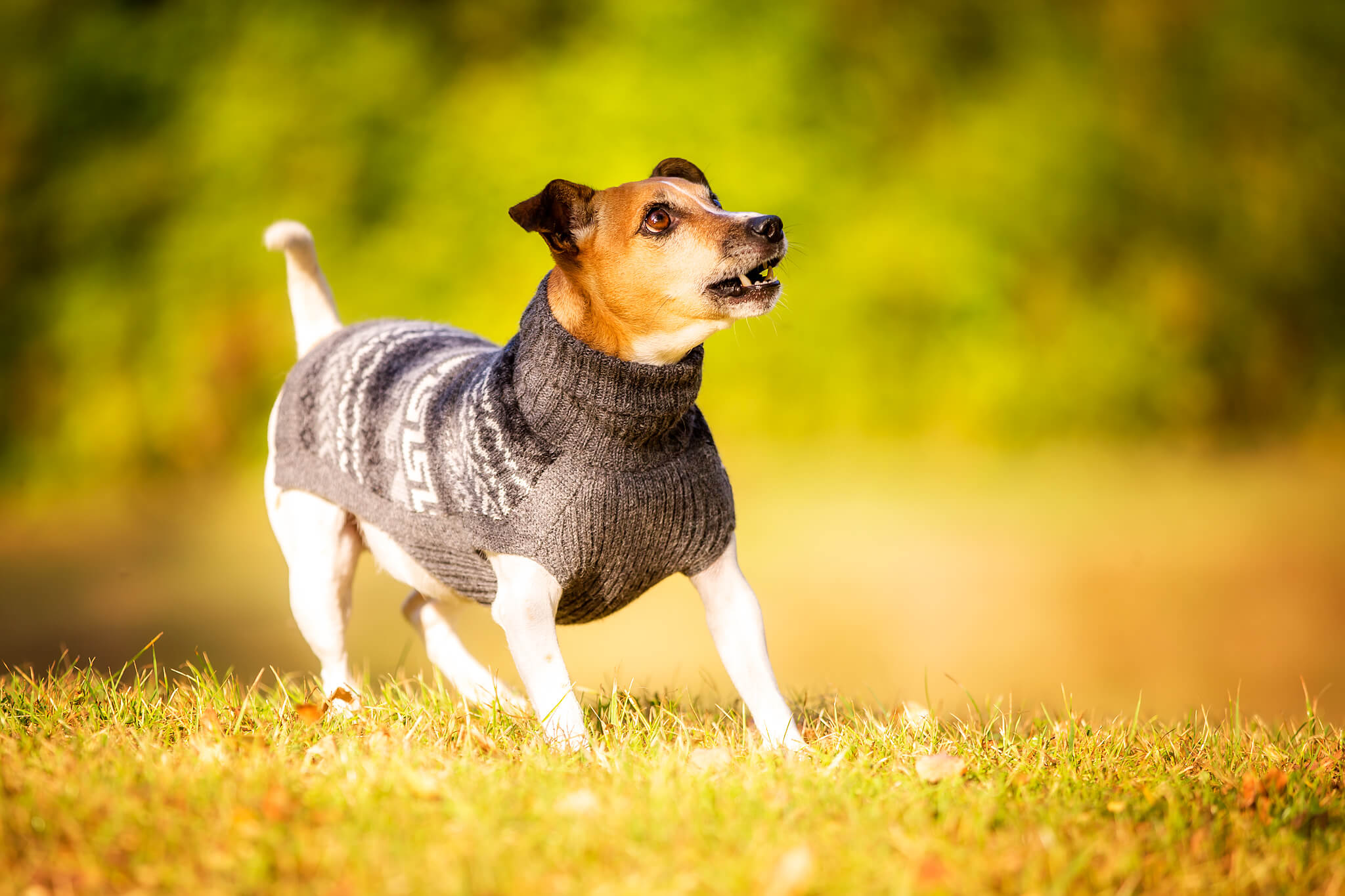 Rasseportrait Russell Terrier